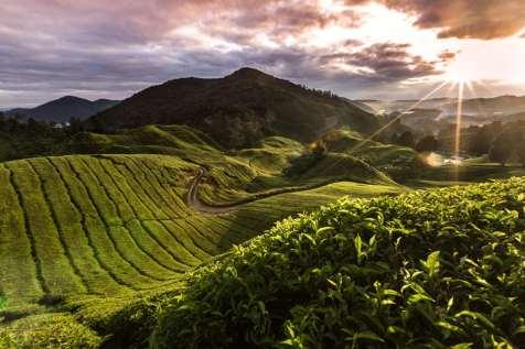 The tea plantations of Cameron Highlands