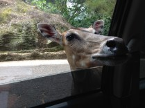 Peering into our car window.