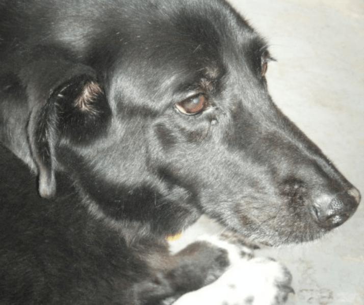 Dakota - Australian Shepherd and Border Collie