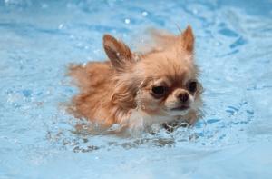 チワワが泳ぐ