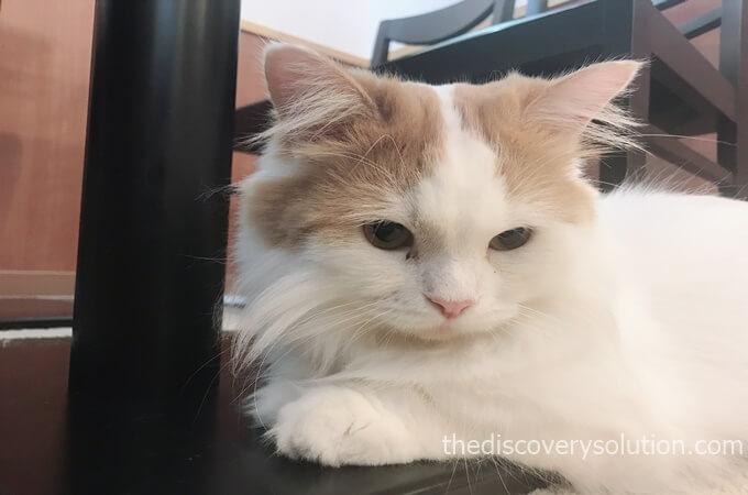 猫カフェcotaのミヌエット