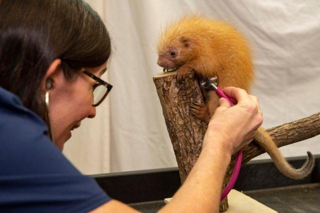 Porcupine Born at Disney's Animal Kingdom