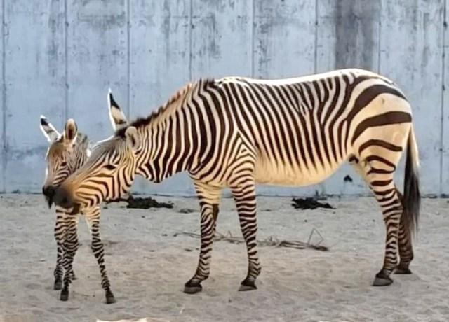 Zebra Foal Born at Disney's Animal Kingdom