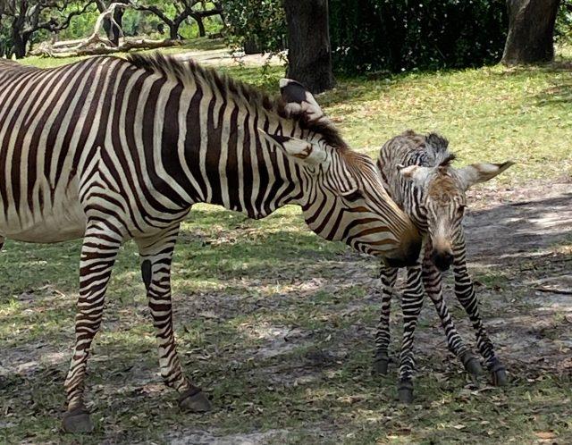 Zebra Birth at Disney's Animal Kingdom