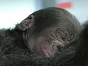 Western Lowland Gorilla Born at Disney's Animal Kingdom Theme Pa