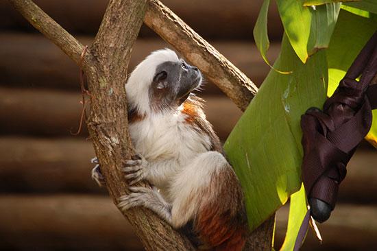 conservation, tamarins.