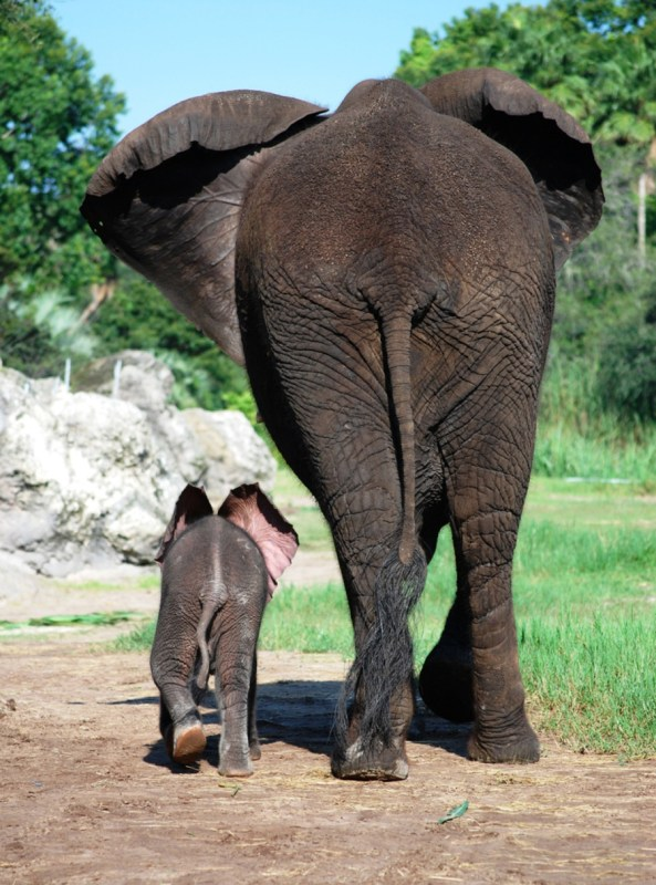 conservation, elephants