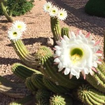 Cactus-Bloom travel Arizona