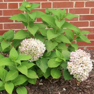 landscaping flower backyard hydrangea