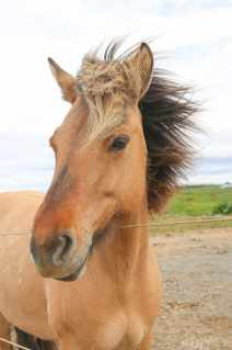 Travel_Icelandic-horse