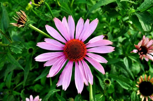 flowers-garden-plant-pink