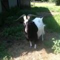 Billy goat (480 x 640)