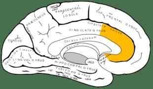 brain - anterior cingulate cortex