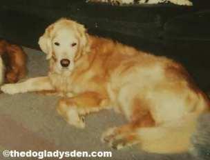 Bailey, #AtoZChallenge, G is for Golden Retrievers