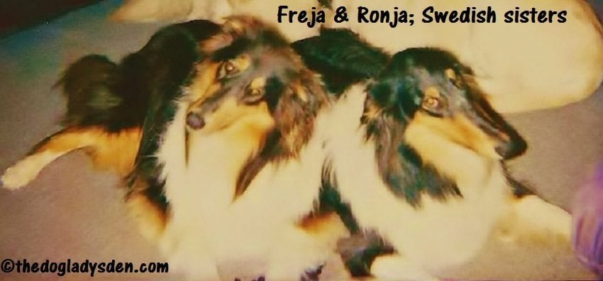 #AtoZChallenge: R is for Rough Collie