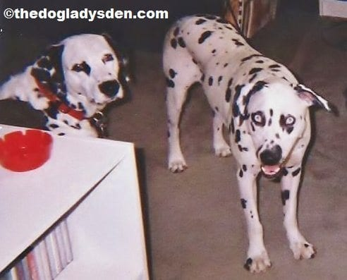 #AtoZChallenge Day 4: D is for Dalmatian