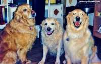 #AtoZChallenge G is for Golden Retrievers, The Doglady's Den
