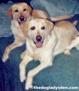 #AtoZChallenge: Labrador Retirever