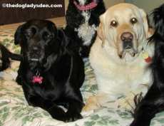 #AtoZChallenge: L is for Labrador Retriever