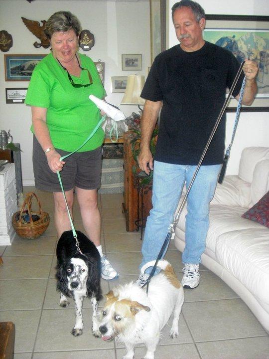 Cinder the Springer Spaniel Puppy ~ Adopted