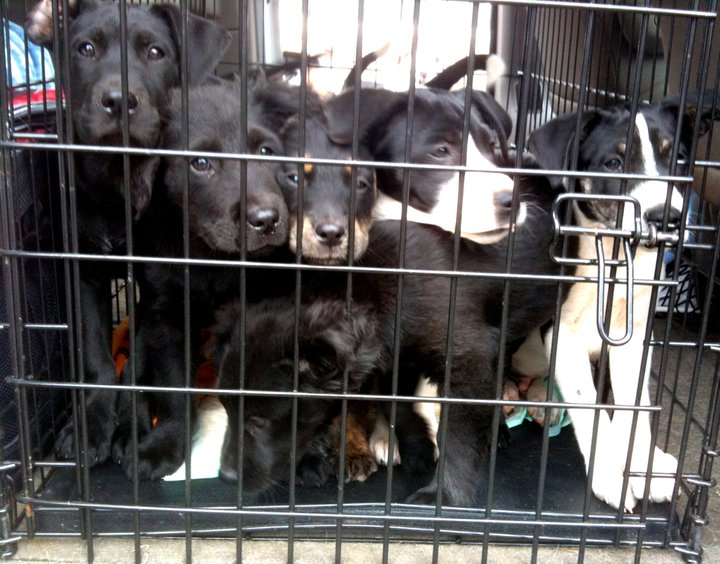 7 Border Collies Puppies! Oh my!!!