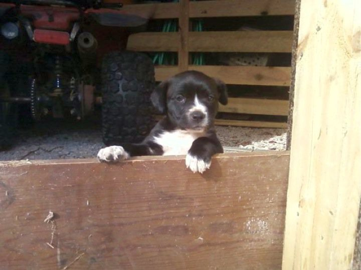 FarmBoy the Border Collie Puppy