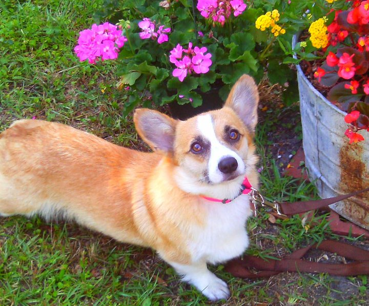 Sweet Pea, the Pembroke Welsh Corgi ~ Adopted!