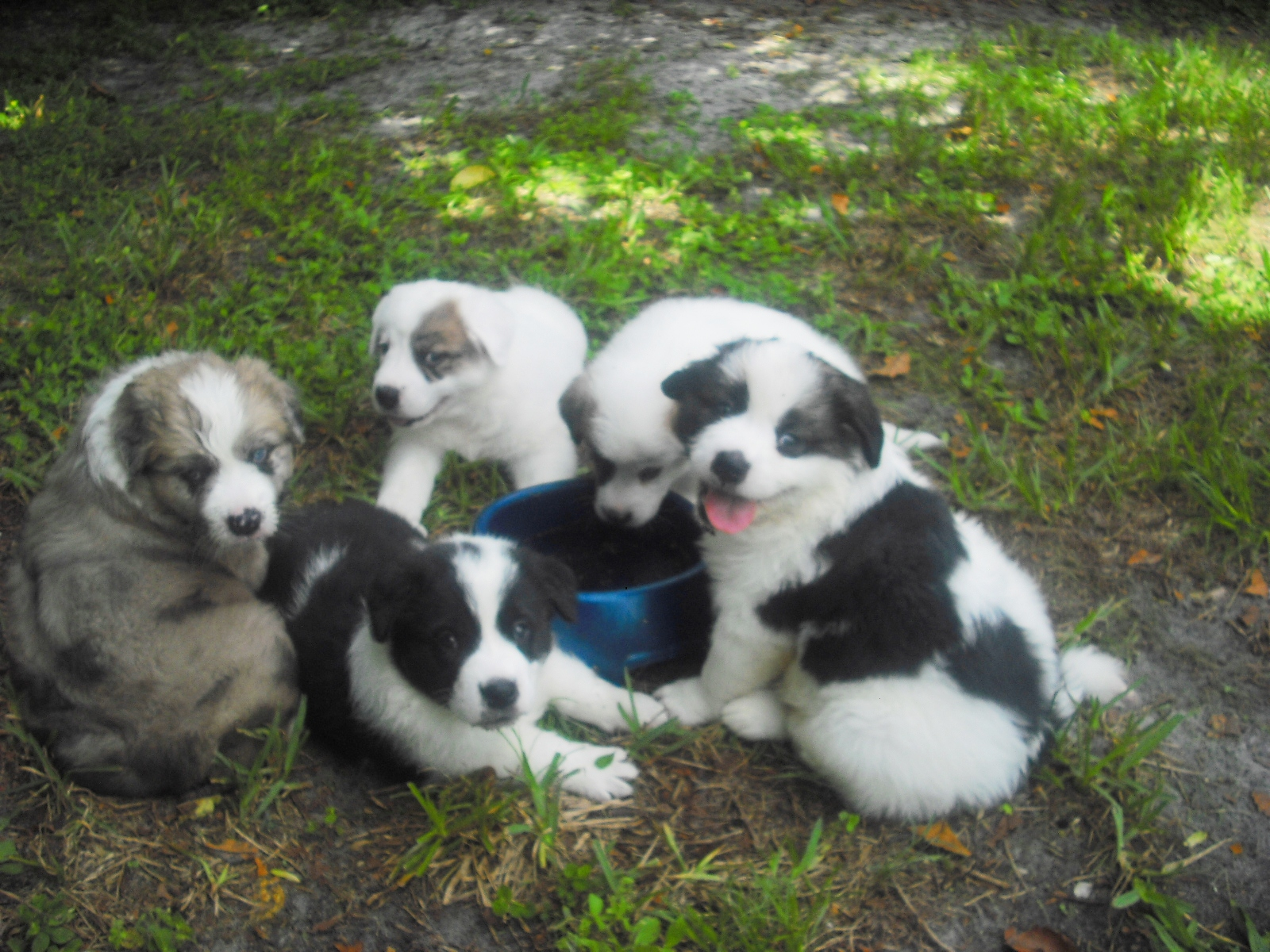 Border Collie + Great Pyrenees = My Puppies! ~ Adopted