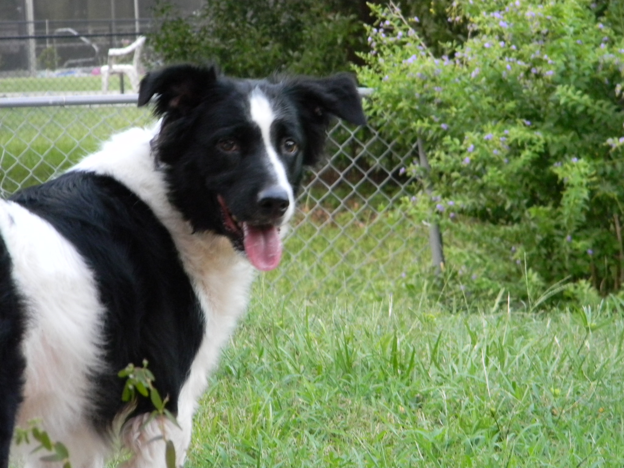 Rosie, the Un-Border Collie! ~ Adopted