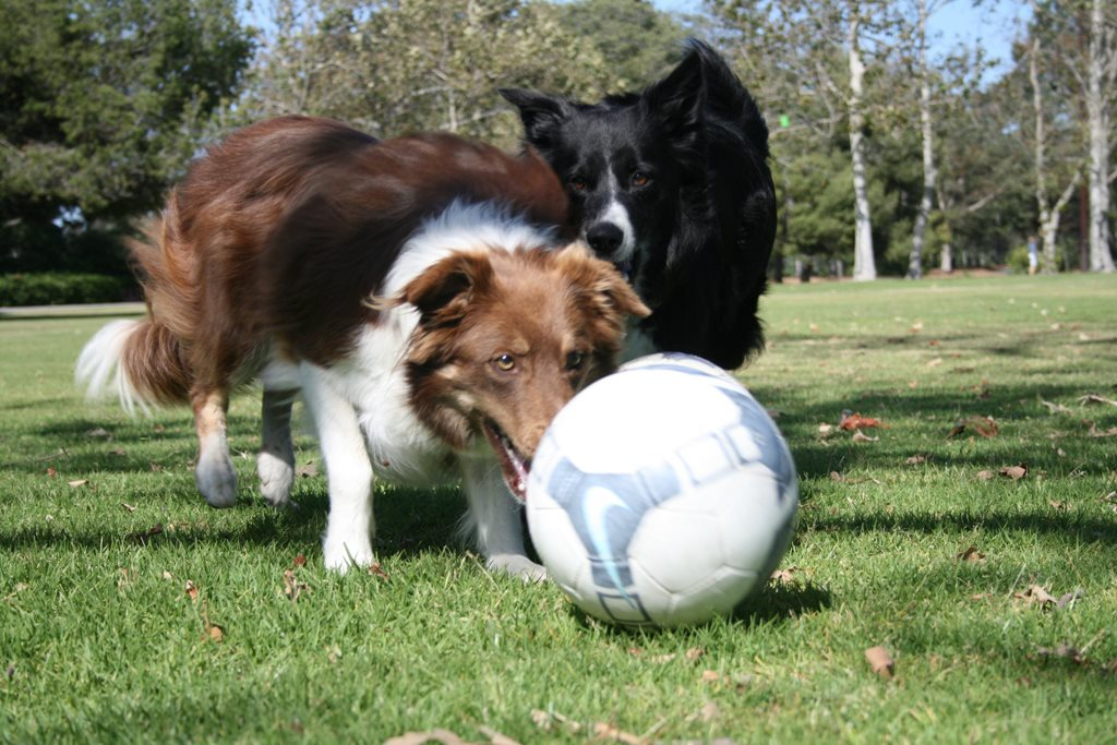 Have A Ball With Soccer Collies Nov. 12th & Nov. 19th