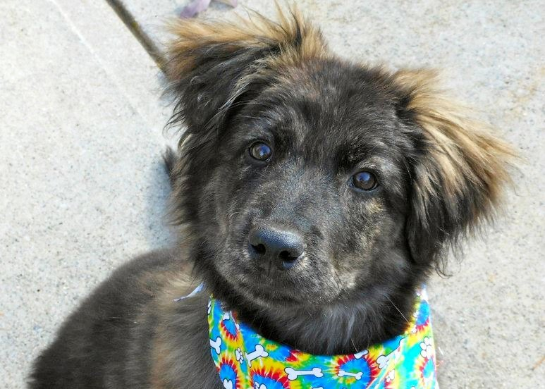 Rocky Road, Stinkin' Cute Aussie Pup~Adopted