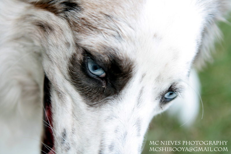 Knish, the Catahoula/Aussie~Adopted