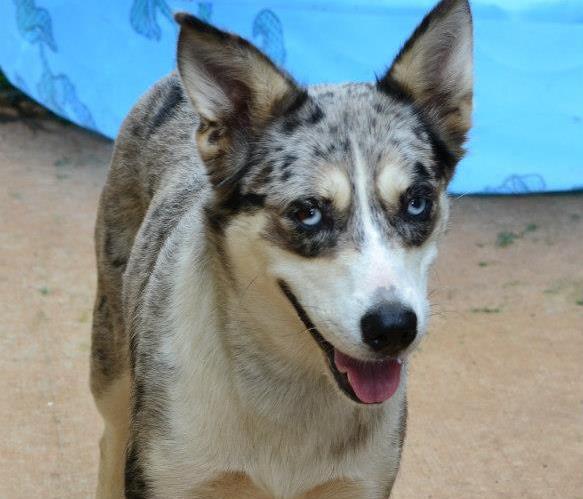 Jazabelle, the Ausskie~Adopted