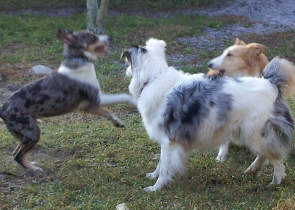 Border Collie Boot Camp