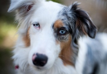 Bebop the Miniature Aussie Puppy ~ Adopted | The Dog Liberator™