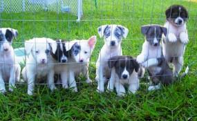 White Fluffy Puppies (Aussie/Catahoula)