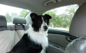 BoBo, rescued heartworm positive, was heartworm negative in 8 months with monthly heartgard!