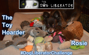 Our First Dog to start this series of challenges is Rosie, the toy hoarder!