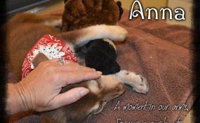 Anna, the Aussie Puppy