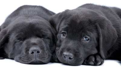 Are Labrador Retrievers Smart?