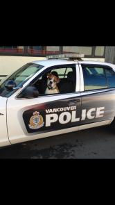 Romeo's Bucket List: Day 8- Go for a ride in a cop car! I also love to howl when these come by! I'm Romo Cop and I'm going to fight crime again animal cruelty!