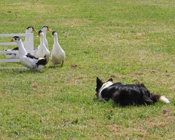 Dogfest 2014 - Richard Curtis - Duck herding