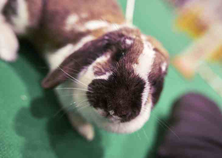 National Pet Show London 2016 - Rabbit