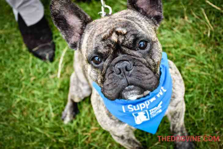 Coco The Frenchie - Hounds On The Heath