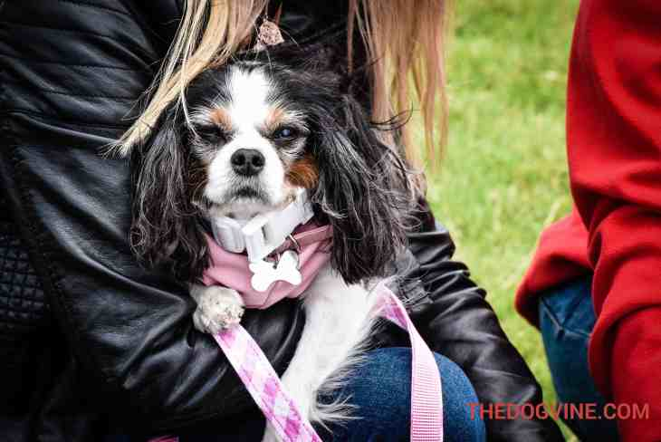 Lucy The Rescue Cavalier - Hounds On The Heath