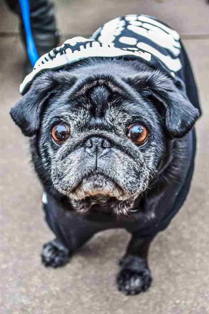 Pug - October 2017 Events Agenda For London Dogs