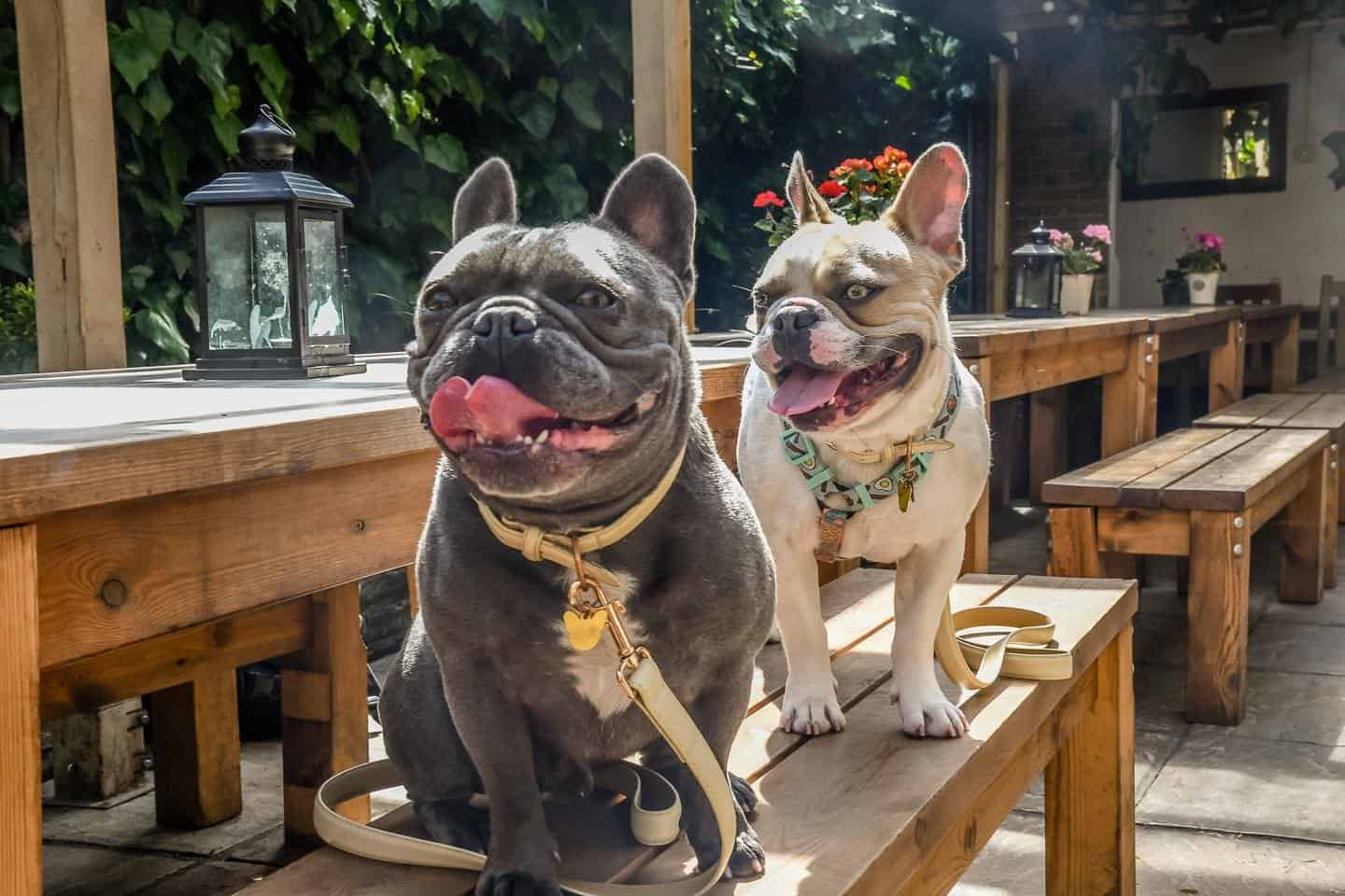 My Dog Friendly London By Herbie and Dave The Frenchies