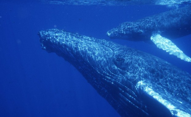 Latest TDI publications on variations in humpback whale female habitat use