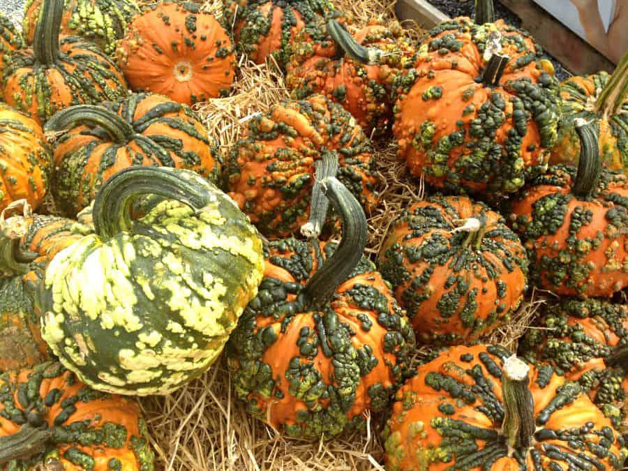 bumpy pumpkins 900x600