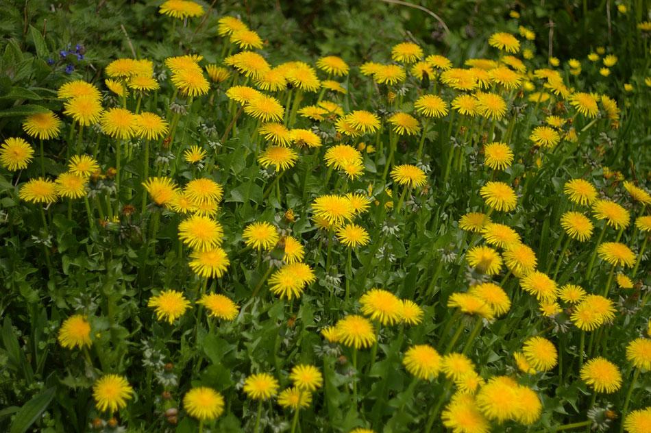 07-dandelions